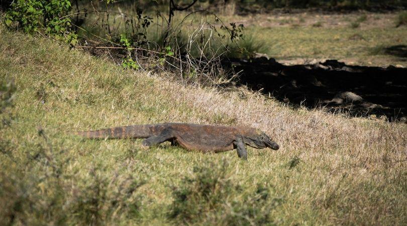 Dragón de Komodo caminando