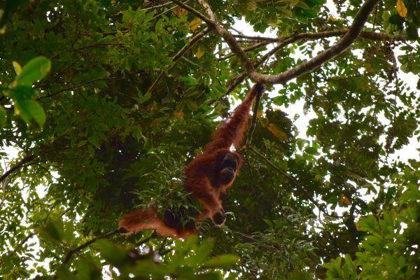 Orangutanes en Sumatra