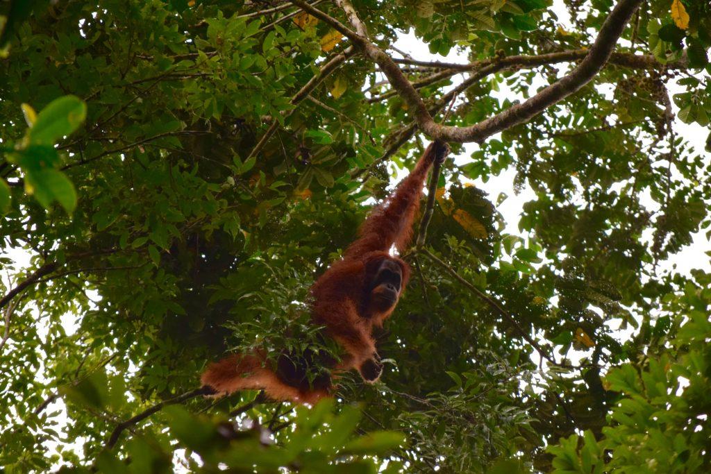 Orangutanes en Sumatra - Viajar a Indonesia